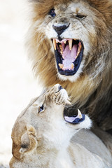 Lion and Lioness Aggression During Mating
