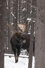 Hidden Moose