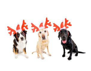 three christmas dogs wearing festive antlers isolated on a white background