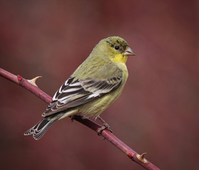 a lesser goldfinch sitting on a rose bush in the foothills at sunset