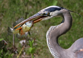 Beautiful photo of a great blue heron