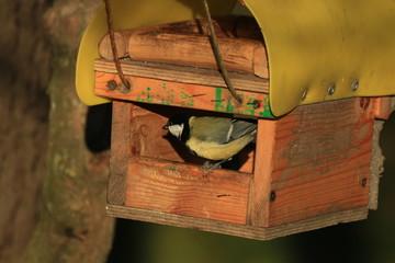 bluebird in the bird feeder