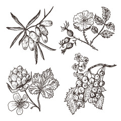 Set berries. sea buckthorn, red currants, cloudberry, dog-rose. engraved hand drawn in old sketch, vintage style. Holiday decor elements. vegetarian fruit botany.