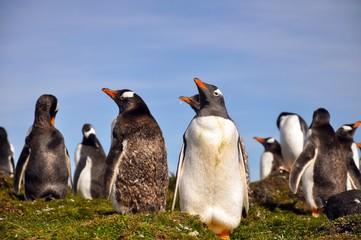 Wild Gentoo Penguins - Falkland Islands