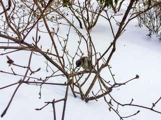 Sparrow on branch and snow in wintertime