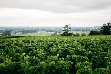 Vineyards in Bordeaux