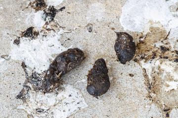 Egagrópilas y excrementos de Lechuza Común. Tyto alba.