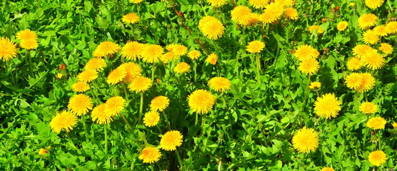 Dandelions. Green leave in the garden, in springtime. Green landscape and water drops