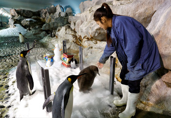 Maru, a two-month-old King Penguin chick and the first successful hatching by the Jurong Bird Park in almost a decade, looks on from a Christmas theme enclosure in the Penguin Coast exhibit at the park in Singapore