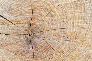 Tronco aserrado de Roble Albar. Quercus petraea.