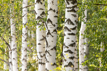 white trunks of a birch on the nature Wall mural
