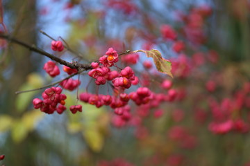 Euonymus / Shrub Blooming in Autumn