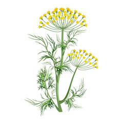 Dill herb with small yellow bloom and green stem