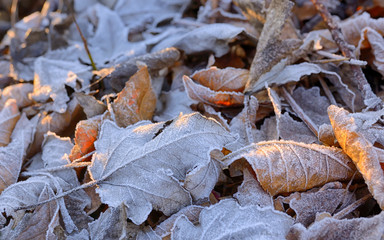 Autumn frozen leaves background