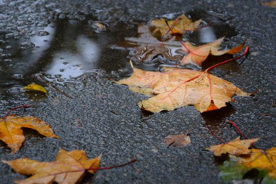 Fallen maple tree leaves on wet asphalt in rainy autumn day. Autumn background.
