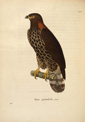 Illustration of a bird of prey