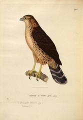 Illustration of a bird of prey