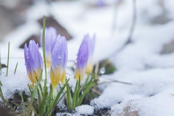 Crocus in the snow-covered garden