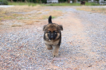 Cutie German Shepherd puppy walking on the yard
