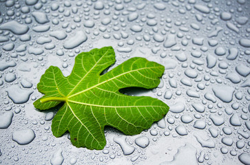Fig leaf on water drops back ground