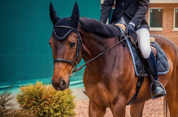 Bay dressage horse and rider in dark blue jacket performing at show jumping competition. Equestrian sport background.