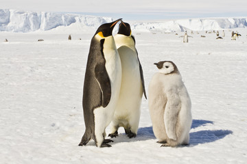 Almost adult Chicks the Emperor penguin(aptenodytes forsteri) colony on the ice of Davis sea