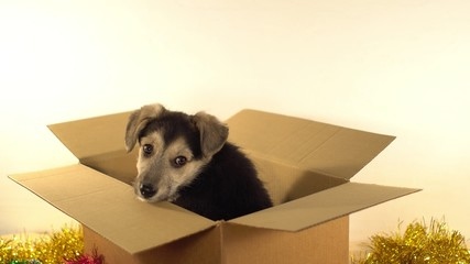 Beatiful puppy sits in a postage box with Christmas and New Year decorations.