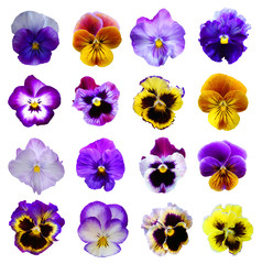 Poster Pansies Pansies on White background