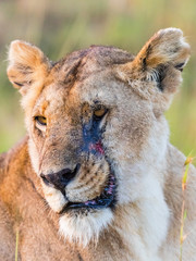 Lion with a scar