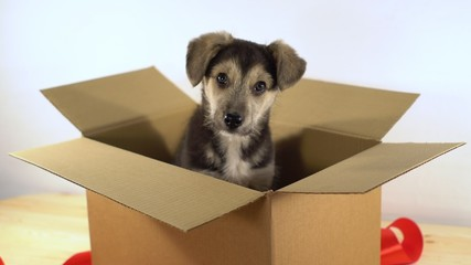 Cute puppy dog sits in a cardboard box with red ribbon.