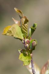 Cherry Tree Flower Buds