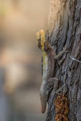 Forest dragon in tropic of India. Macro photo of reptiles Little Andaman, Andaman Sea. Lizard