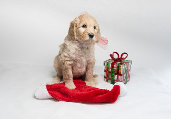 Labradoodle pups for Christmas
