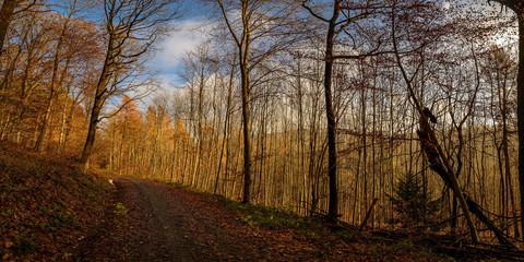 Die winterliche Morgensonne vergoldet die kahlen Bäume im Heidelberger Stadtwald am Odenwälder Weg