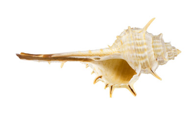 the sea shell