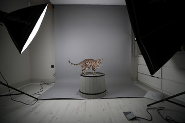 Benji, a Snow Leopard Bengal cat, pauses for a photograph whilst walking through a studio in south London