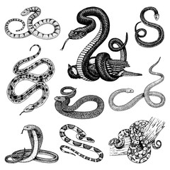 Set Viper Snake. serpent cobra and python, anaconda or viper, royal. engraved hand drawn in old sketch, vintage style for sticker and tattoo. ophidian and asp.