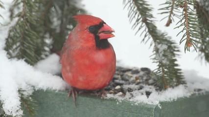 Fotoväggar - Male Northern Cardinal (cardinalis) on a feeder in a snow storm
