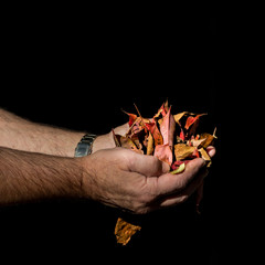 Red and yellow autumn leaves in male hands