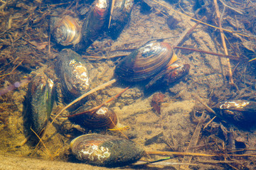 mussels in a water of forest lake