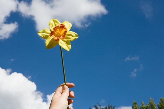 A person holding a daffodil
