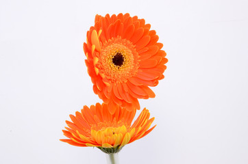 Flores naranjas fondo blanco