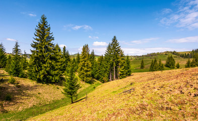 spruce forest on rolling hills in springtime countryside. beautiful nature scenery with green grass and a blue sky