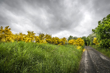 Yellow brrom bushes by a roadside in cloudy weather
