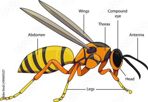 Vector illustration of an insect. Diagram with labeled parts of a ...