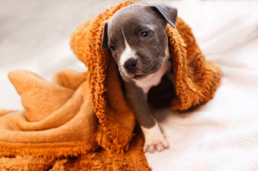 Portrait of a small puppy Staffordshire Terrier