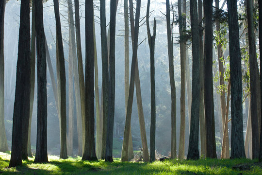 San Francisco Presidio Cypress Trees
