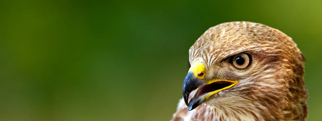 Banner format photo of a Common Buzzard (Buteo buteo) Wall mural