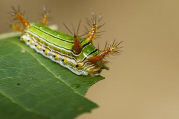 "Image of Stinging Nettle Slug Caterpillar (Cup Moth, Limacodidae) ""Green Marauder"" on green leaves. Insect Animal."