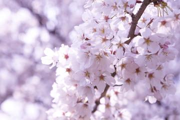 Spoed Fotobehang Kersenbloesem 桜